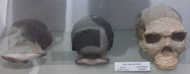 Skull_of_Homo_erectus,_Indian_Museum,_Kolkata