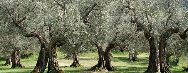 640px-Olivenbäume_Umbrien