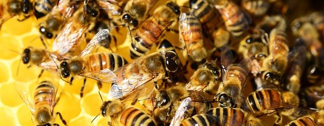 honey-bees-326336_640
