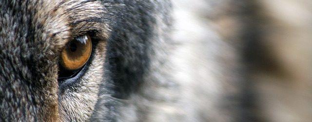 wolf-1352242_640