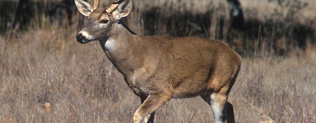 790px-White-tailed_deer