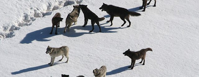 640px-Yellowstone_Wolves