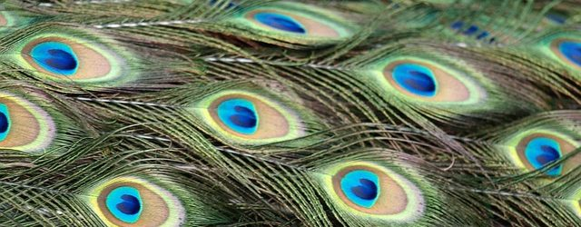 peacock-327491_640